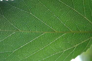 Leaf by ElvenSheepStock