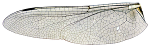 large dragonfly wing stock (cut out) .png
