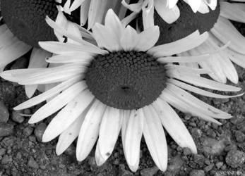 Colorless Lazy Daisy by Anj3lla