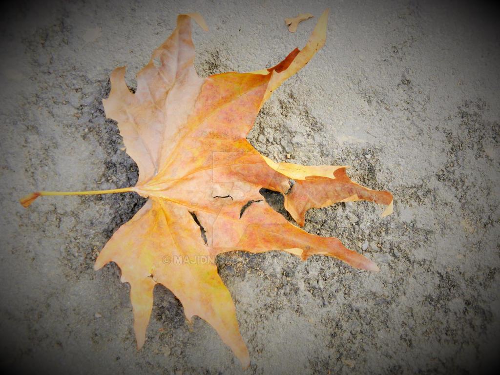 Autumn Chinar Leaf by majidnisar