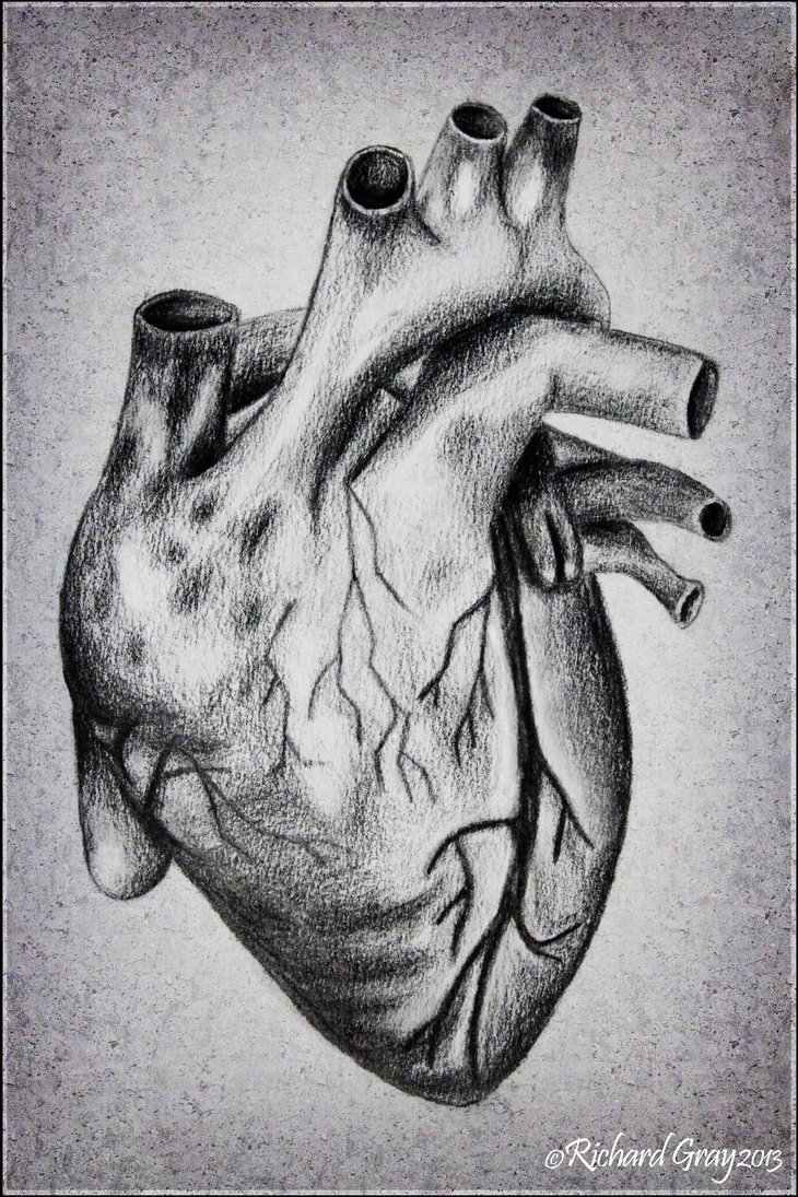 the human heart by ricgraydesign on deviantart, Muscles