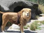 Lion Stock 11