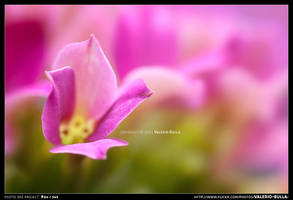 Pink Petals by ValerioBulla