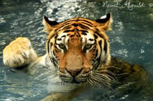 Sumatran Tiger by NawalAckermann