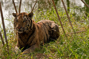 Benghal Tiger by NawalAckermann