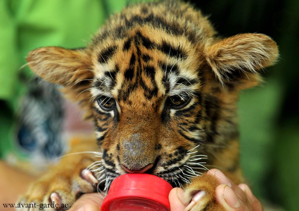 Baby Tiger by NawalAckermann