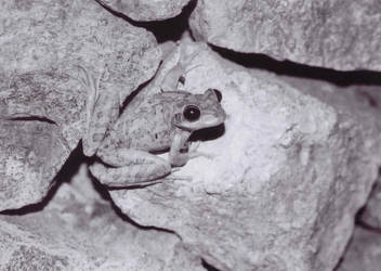 Frog on a wall by Mennonot