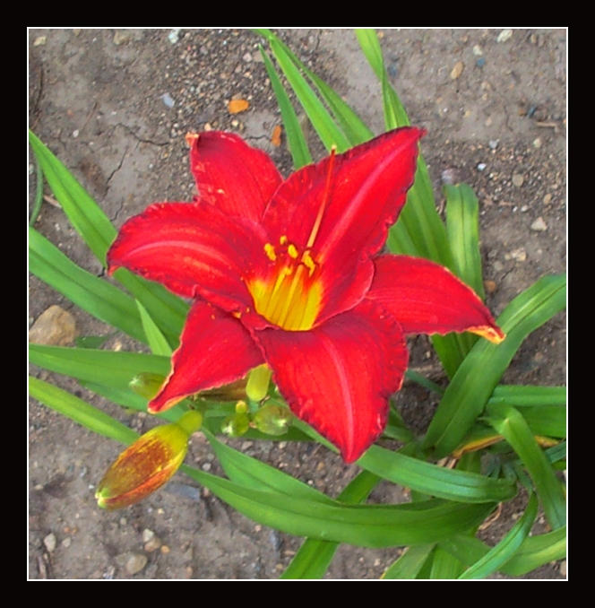 Red Lily