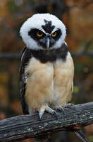 Spectacled Owl by Nushaa