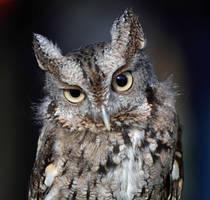 Eastern Screech Owl III by Nushaa