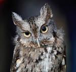 Eastern Screech Owl III