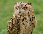 Pharaoh Eagle Owl II