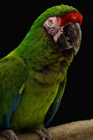 Military Macaw by Nushaa