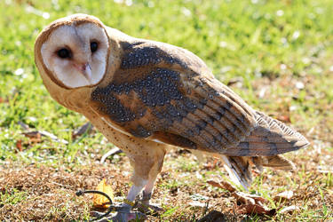 Barn Owl VII by Nushaa
