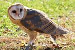 Barn Owl VII