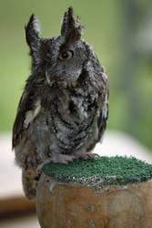 Eastern Screech Owl by Nushaa