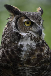 Great Horned Owl by Nushaa