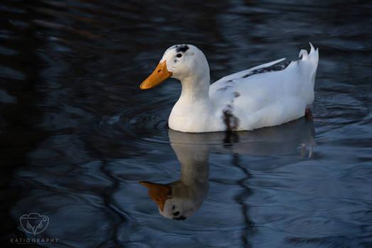 The White Duck of Jim Barnett