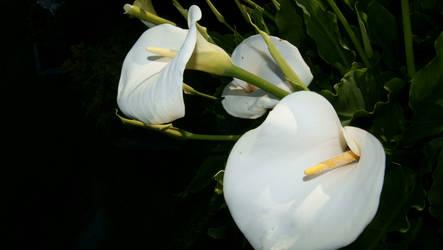 Beautiful White Callalilies