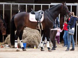 Stallion Presenation_1 by CalyHoney