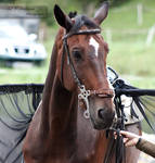 Warmblood SportHorse_Pferdefest 2014_1