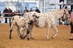 Noriker Mare with Foal_4