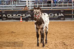 Noriker Foal_6