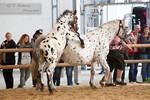 Noriker Mare with Foal_6