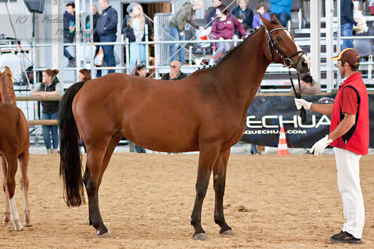 Austrian Warmblood_2