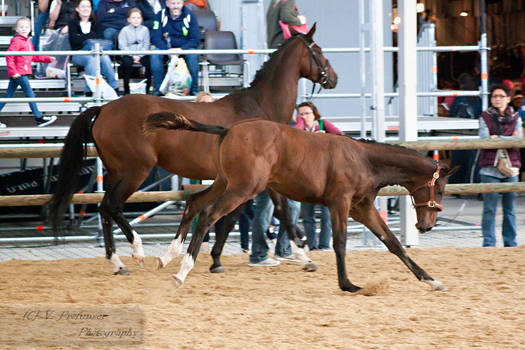 Austrian Warmblood Foal_7