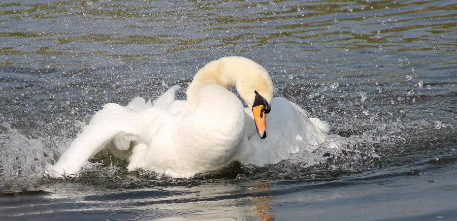 Swan by xLeane