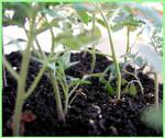 MAY - Baby tomato plant 2