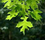 Oak Leaf by Kim-92