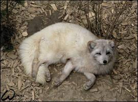 Sleepy fox by woxys