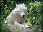 Chinese wolf