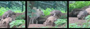 Arctic wolves cubs