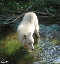 Atila, the arctic wolf by woxys
