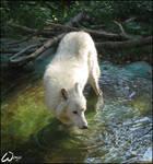 Atila, the arctic wolf