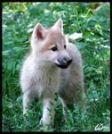 Fluffy baby wolf cub