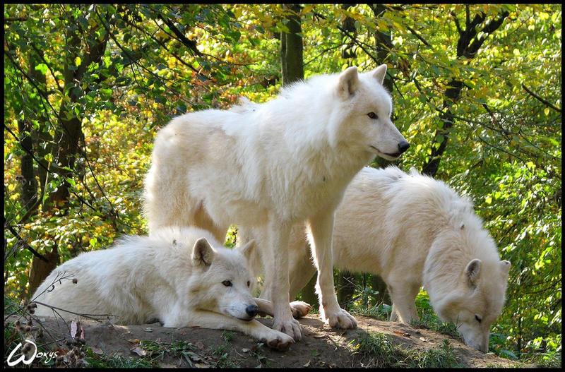 Wolf pack in golden Autumn
