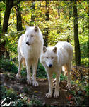 Arctic wolves - PF
