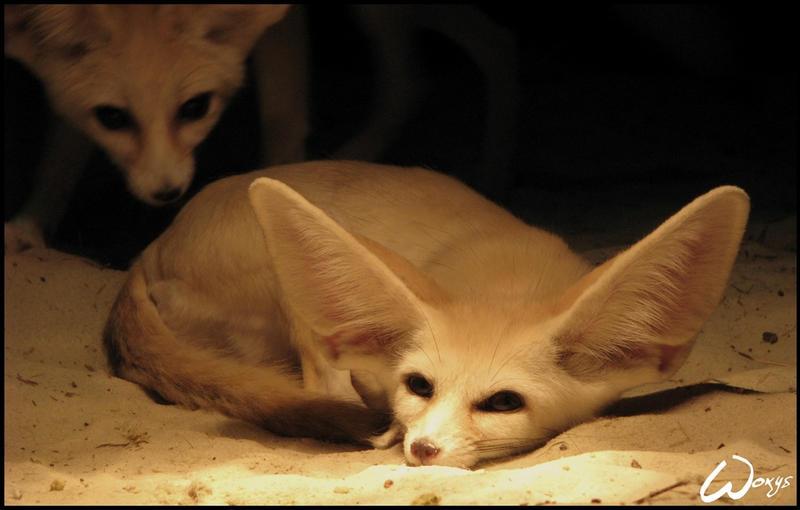 wake up cute friend fennec by woxys on deviantart