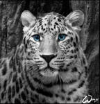 Amur leopard: Innocent kity
