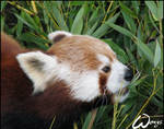 Red panda is pretty hungry