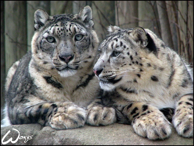 Snow leopard? My love by woxys