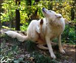 Arctic wolf contra flea: 0:1