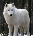 King of arctic wolves