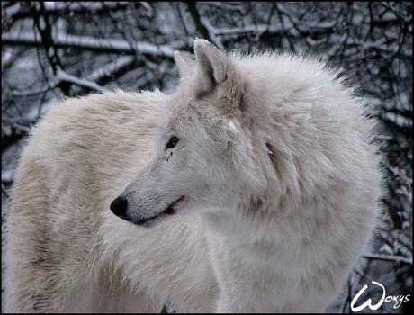 Winter dream of arctic wolf