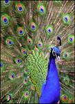 Peacock: the Cliche