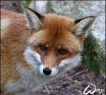 Patty the Red Fox